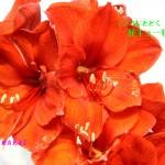 ふらわー`s (使用花材) : アマリリス レッドライオン