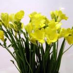 フリージア黄色