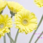誕生花:ガーベラ